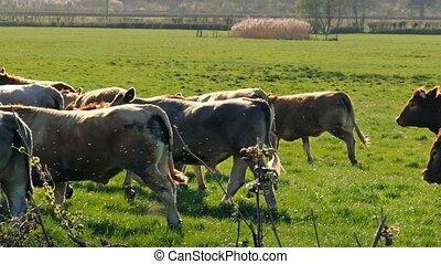 Cows Running In Sunny Field