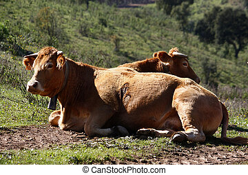Cows sitting of the grass