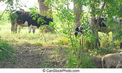 Cows stand in the shade of trees in the hot afternoon