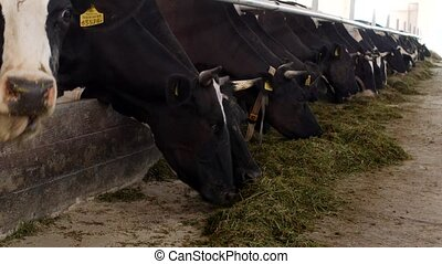 cows stand in the stall and eat silage with flour, the farmer, cows eat grass on the farm, beef