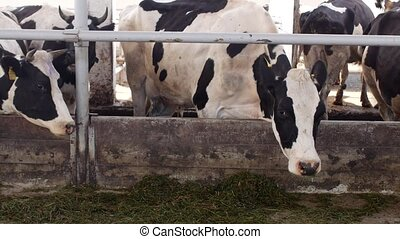 cows stand in the stall and eat silage with flour, the farmer, cows eat grass on the farm, bossy