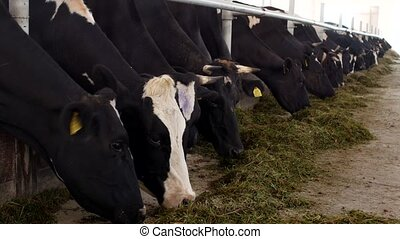 cows stand in the stall and eat silage with flour, the farmer, cows eat grass on the farm, cowshed, kine