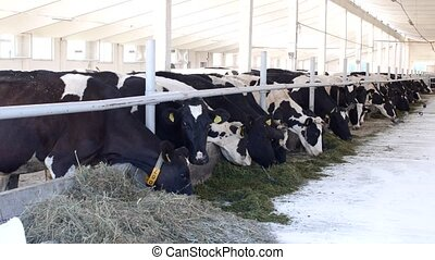cows stand in the stall and eat silage with flour, the farmer, cows eat grass on the farm, ranch, kine