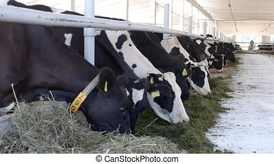 cows stand in the stall and eat silage with flour, the farmer, cows eat grass on the farm, industrial