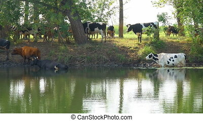 Cows stand in the water on a hot day