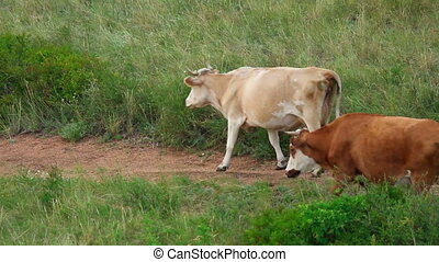 Cows grazing on the meadow.