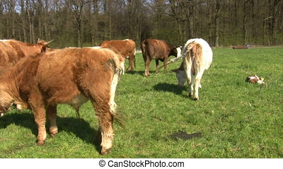 Cows on a meadow in springtime