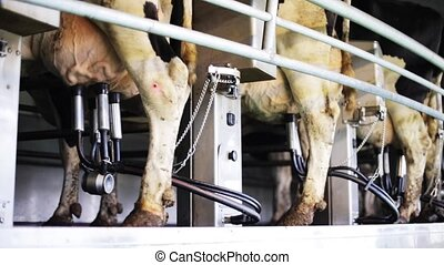 cows udder milking with breast on dairy farm