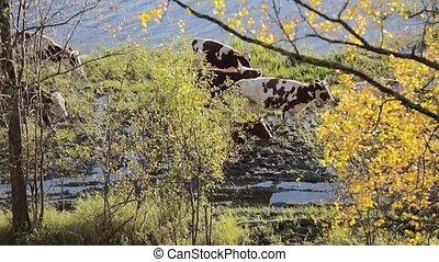 Cows walking near lake at sunny day