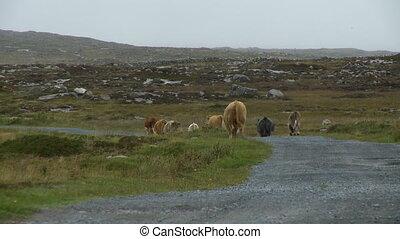 Cows Walking on Gravel Road - Steady, medium wide shot of ...
