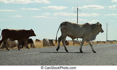 Cows walking on road - A medium shot of cows walking on road