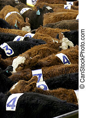 Cows with Numbers - A pen of numbered cattle are groupled...