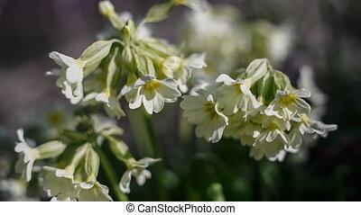 Primula veris - Cowslip Primula veris