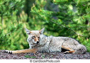 Coyote - A coyote relaxes on a low hill in front of pine ...