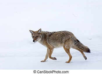 Coyote - A coyote walks across the snow covered prairie.