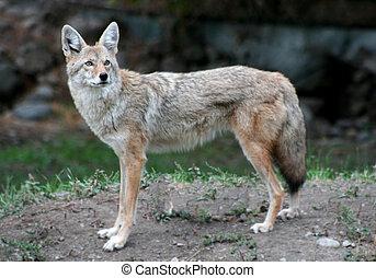 Coyote - a lone coyote