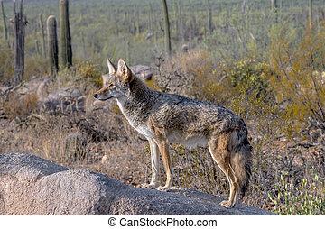 Coyote Alert atop a Boulder in the Arizona Desert