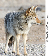 Coyote (Canis latrans) portrait in the morning desert. Panamint Springs, Death Valley National Park, California and Nevada, USA.