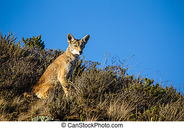 Coyote (Canis latrans) in the Golden Gate National Recreation Area north of San Francisco, California, USA.