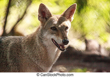 Coyote Canis latrans in the woods of Naples, Florida