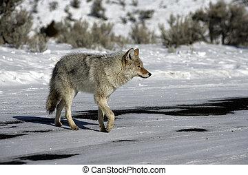 Coyote, Canis latrans,
