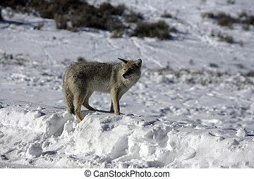 Coyote, Canis latrans, single mammal in snow, Yellowstone, USA