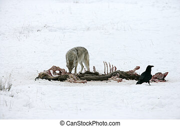 Coyote, Canis latrans, single mammal in snow, Yellowstone, ...