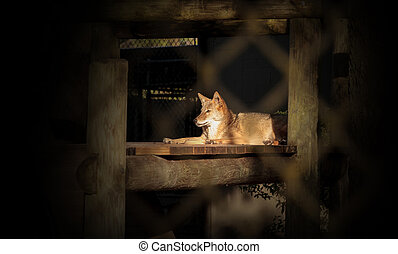 Coyote Canis latrans sits in a wooden shelter in Southern ...
