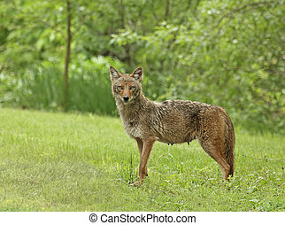 Coyote (canis latrans) standing in the grass