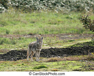 Coyote - coyote hunting on local farm