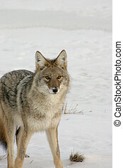Coyote. - Coyote on the hunt in the winter snow.