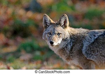 Coyote - coyote