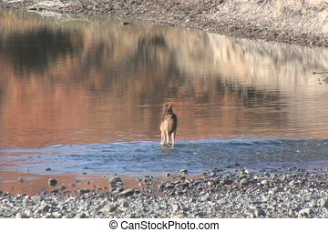 a coyote carefully crossing a shallow river