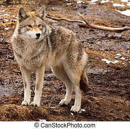 coyote, día, primavera