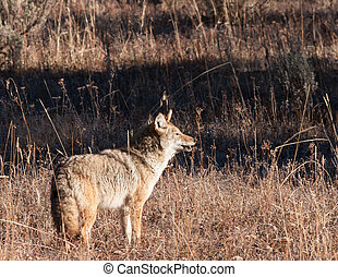Coyote during fall in Yellowstone National Park