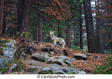 Spotted in Yosemite National park in February. Coyote - Canis latrans is a canid native to North America. It is smaller than its close relative, the gray wolf.