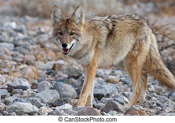 coyote, el dar un paseo