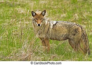 coyote, female, Canis latrans
