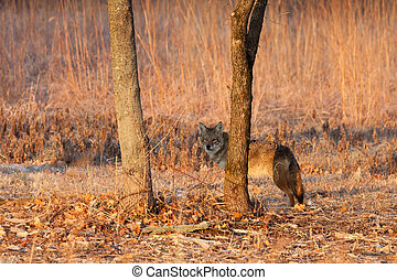 coyote hids behind a tree in a praire
