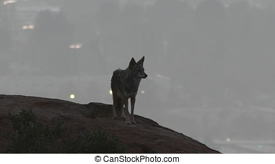 Coyote Howling at Los Angeles California - Wild coyote...