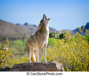 Coyote Howling in American Southwest - Coyote Painting in...