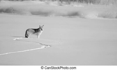 Coyote howling in Yellowstone National Park meadow.