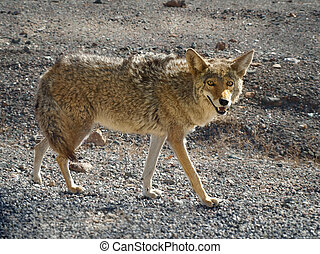 Coyote hunting in the Death Valley