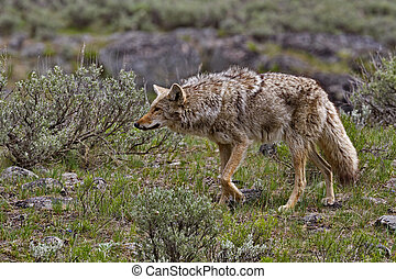 Coyote hunts in Yellowstone