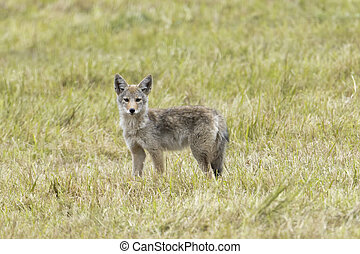Coyote in a green pasture.