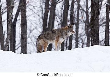 Coyote in a winter scene