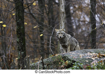 coyote, in, herfst
