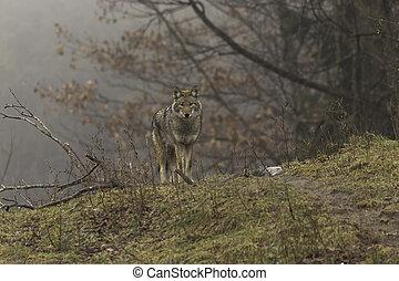Coyote in misty fall scene
