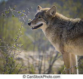 Coyote in the Arizona Desert