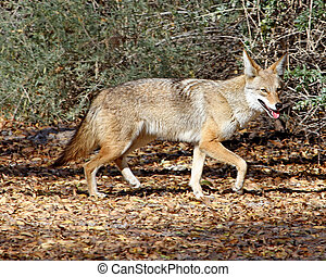 Coyote in Tucson 1
